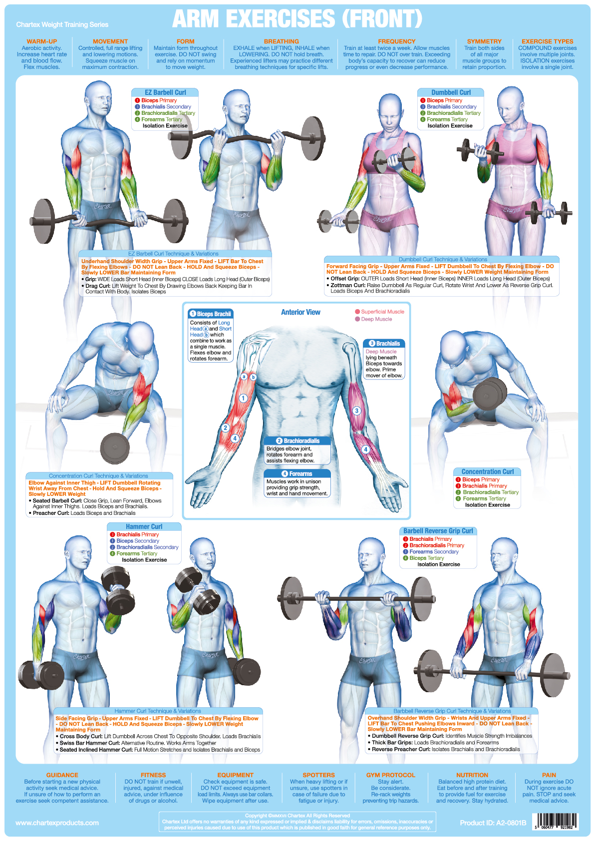 Arm Muscles (Front) Weight Training - A1 Chart