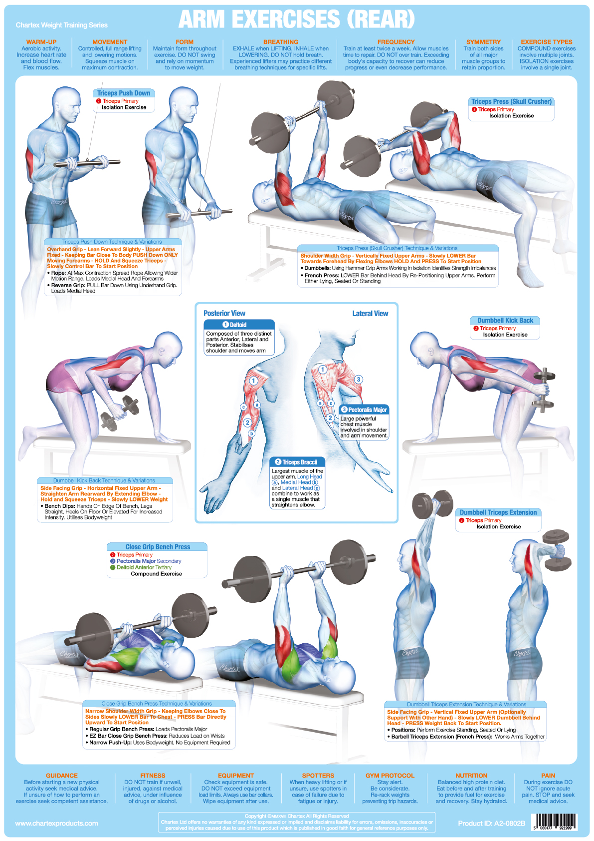 Arm Muscles (Rear) Weight Training - A1 Chart